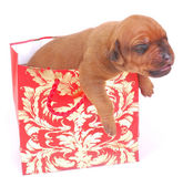 Puppy in gift bag — Stock Photo