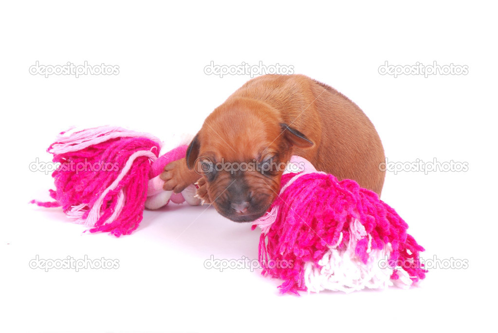A cute little newborn Rhodesian Ridgeback hound puppy lying on top of a pink dog toy. Image isolated on white studio background. — Stock Photo #9884197