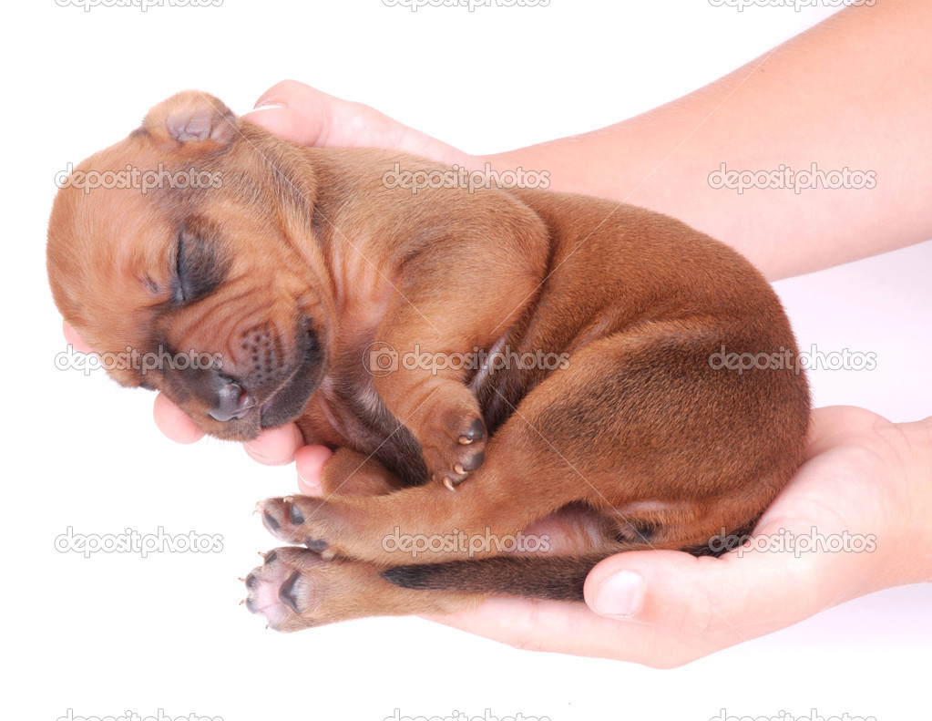 Two Caucasian hands of a child holding a cute little newborn Rhodesian Ridgeback hound dog puppy. Image isolated on white studio background. — Stock Photo #9884238