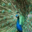 Stock Photo: Blue peacock