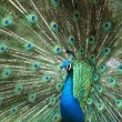 Stock Photo: Colorful peacock