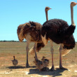 Ostrich family — Stock Photo #9906911