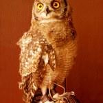 Постер, плакат: Alert owl