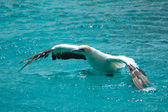African Cape Gannet bird — Stock Photo
