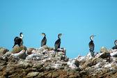 Cormorant family — Stock Photo