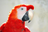 Parrot portrait — Stock Photo