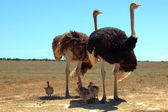 Ostrich family — Stock Photo