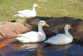 Ducks in pond — Stock Photo