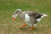 Big fat goose — Stock Photo