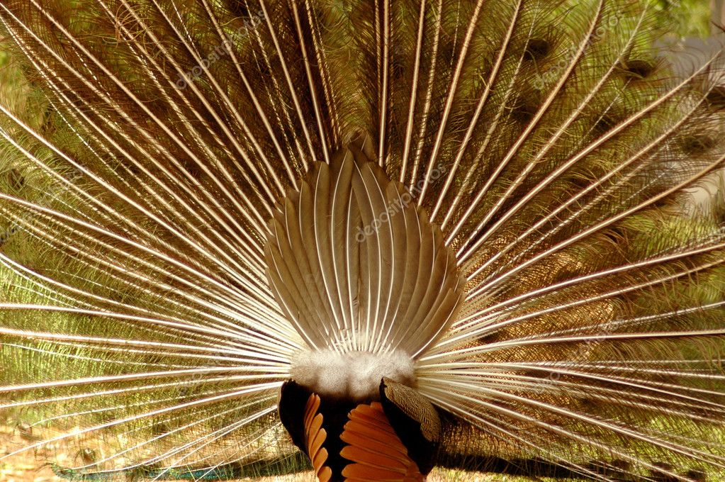 A different view: a blue peacock shown from the back opening his feathers like a wheel standing on a farm outdoors — Stock Photo #9903340