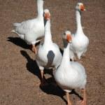 White geese — Stock Photo #9946234