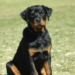 Rottweiler puppy - Stock Photo
