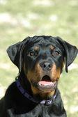 Rottweiler puppy portrait — Stock Photo
