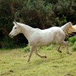Arabian horse galloping down - Stock Photo
