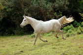 Arabian horse galloping down — Stock Photo