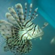 Lion Fish — Stockfoto #9971881