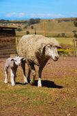 Sheep with lamb on farm — Stock Photo