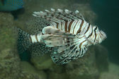 Turkey Fish — Stockfoto