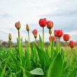 Tulips bloom. — Stock Photo