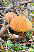 Two mossiness mushrooms under a wood cover — Stock Photo