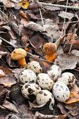 Quail eggs in autumn foliage with mushrooms — Stock Photo