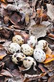 Quail eggs in autumn foliage — Stock Photo