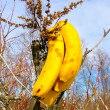 Bananas in deaf wood — Stock Photo