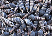 A considerable quantity of small long cockleshells — Stock Photo