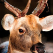 Stock Photo: Large whitetail buck
