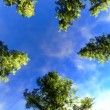 Stock Photo: Canopy of forest