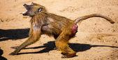 Agressive baboon — Stock Photo