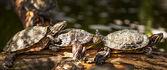 Testudo hermanni tortoiseon -turtle — Stock Photo