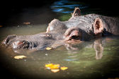 Hippopotamus resting in lake — Stock Photo
