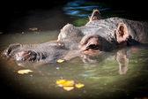 河马在湖里休息 — 图库照片