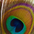 Peacock Feathers Background — Stock Photo #10170939