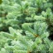 Постер, плакат: Blue Spruce Tree Branches