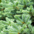 ������, ������: Blue Spruce Tree Branches