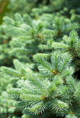 Blue Spruce Tree Branches — Stock Photo