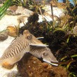 Cuttlefish close up. Underwater aquatic life — Stock Photo #10655930