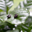 Coffee beans in coffee leaves - Stock Photo