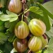 Gooseberries on the branch - Stock Photo