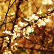 Blossoming apricot tree — Stock Photo #10081215