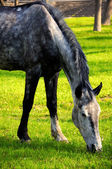 Grazed horse — Stock Photo