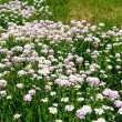 Pink meadow flowers — Stock Photo #8065489