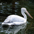 Pink pelican — Stock Photo #8066993