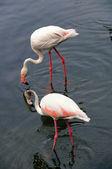 Grupo de um flamingo — Fotografia Stock