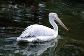 Pink pelican — Stock Photo
