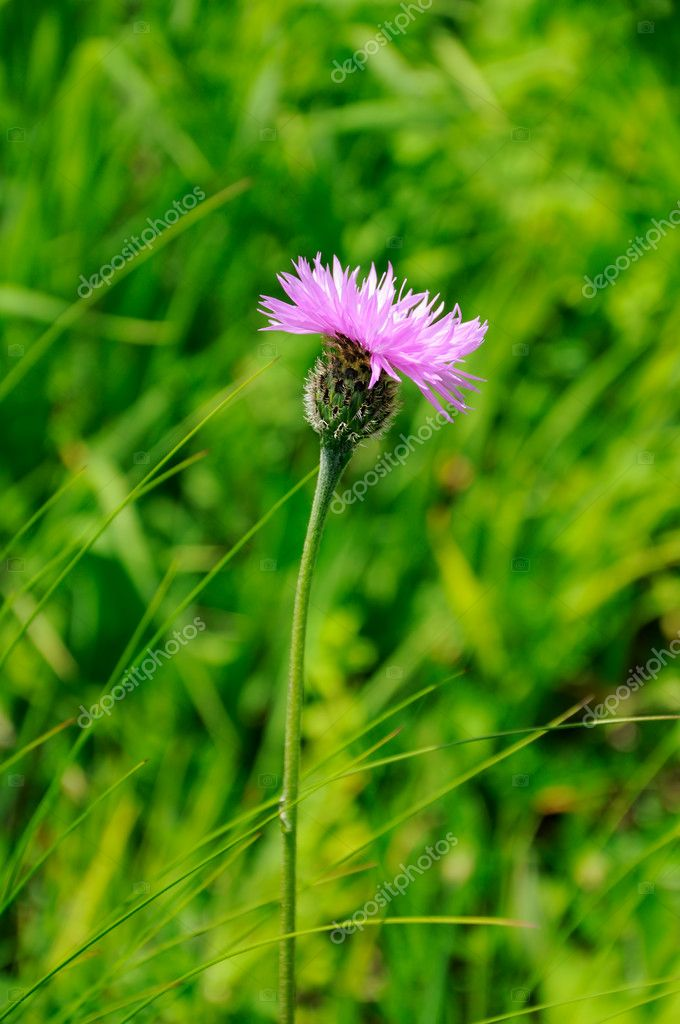 Single flower on green background  Stock Photo #8063734