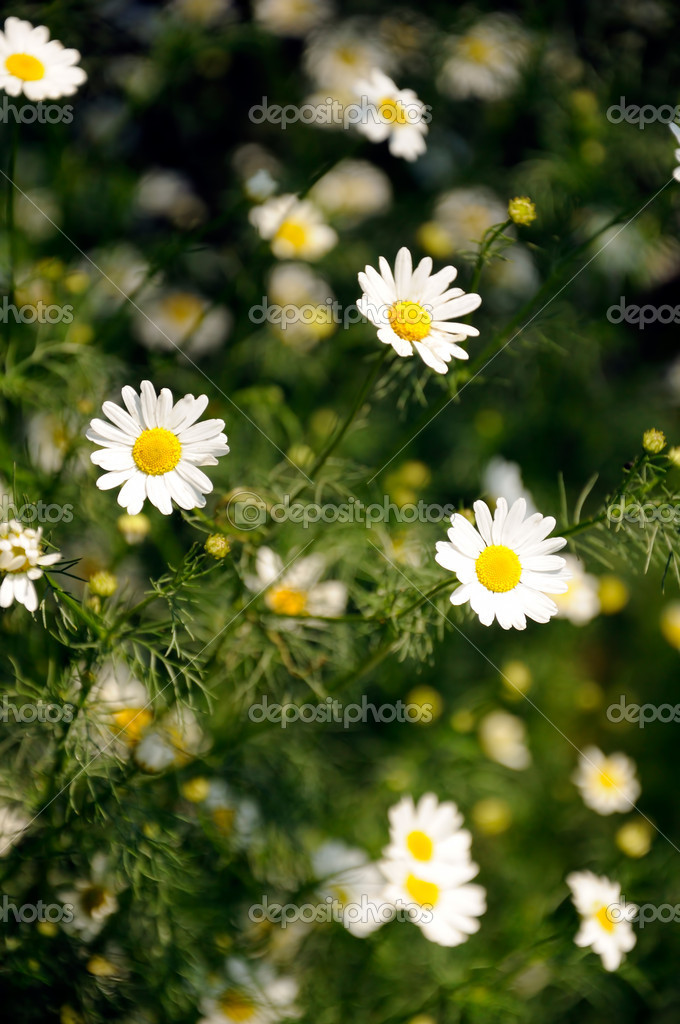 White wild flowers  Stock Photo #8063774