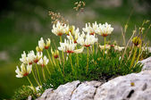Flowers on a mountain meadow — Stock Photo